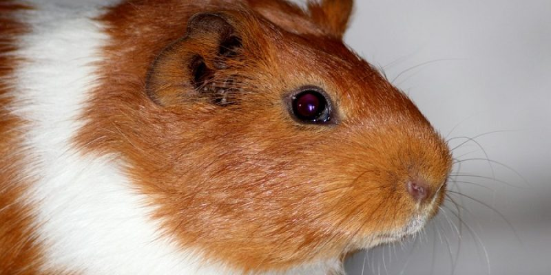 Can Guinea Pigs Eat Chocolate?