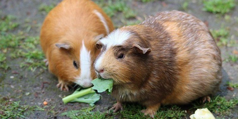 Can Guinea Pigs Eat Cilantro (Coriander)?