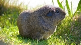 Can Guinea Pigs Eat Kale?