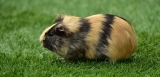 Can Guinea Pigs Eat Parsley?