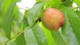 Can Guinea Pigs Eat Peaches?