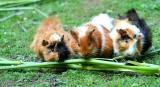 Can Guinea Pigs Eat Runner Beans?