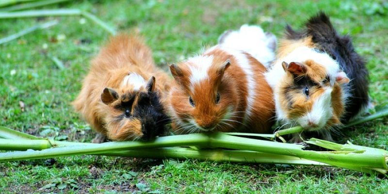 Can Guinea Pigs Eat Runner Beans?