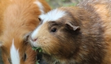 Can Guinea Pigs Eat Spinach Leaves?