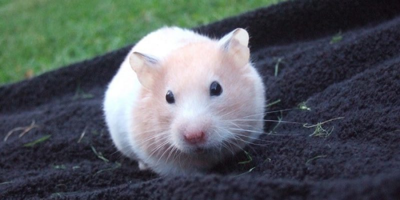 Can Hamsters Eat Celery?