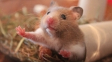 Can Hamsters Eat Crackers?
