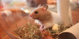 Can Hamsters Eat Grass?