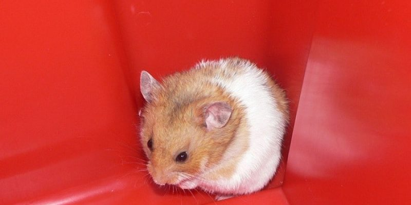 Can Hamsters Eat Meat?