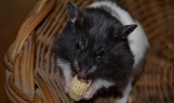 Can Hamsters Eat Peanuts?