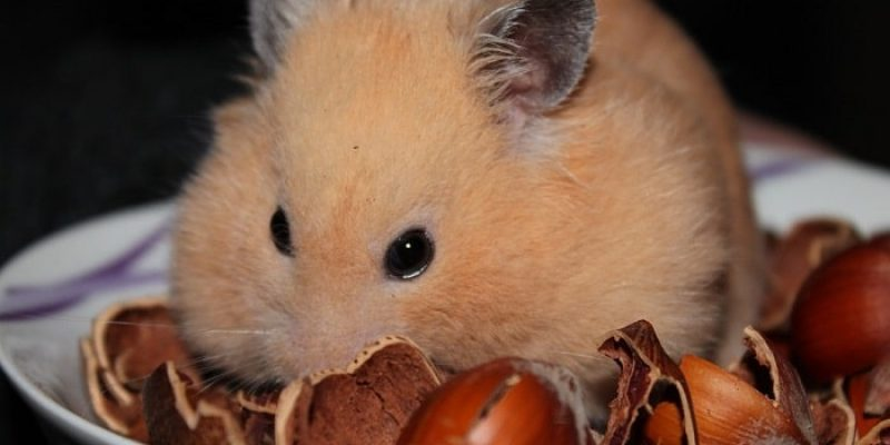 Can Hamsters Eat Walnuts?