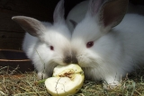 Can Rabbits Eat Apples?