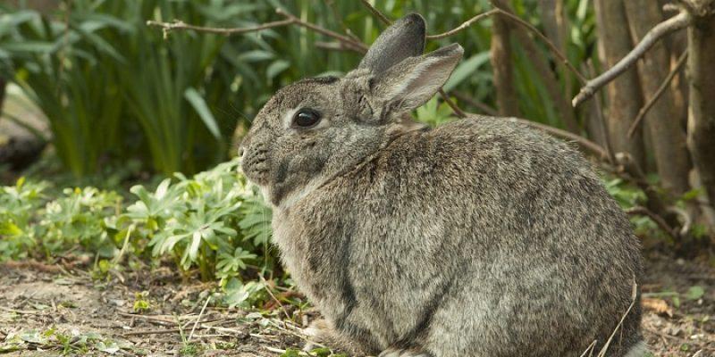 Can Rabbits Eat Basil?