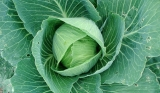 Can Rabbits Eat Cabbage?