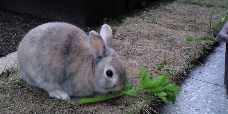 Can Rabbits Eat Celery?