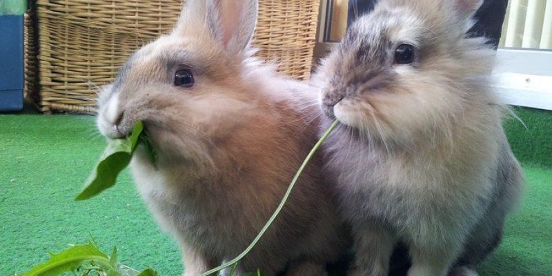 Can Rabbits Eat Lettuce?
