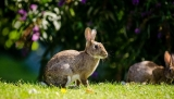 Can Rabbits Eat Plums?