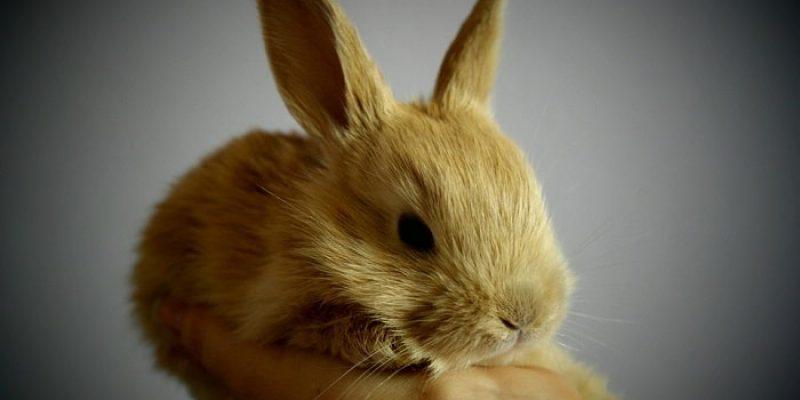 Can Rabbits Eat Raspberries?