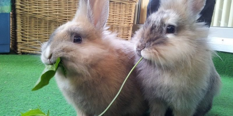 Can Rabbits Eat Spinach Leaves?