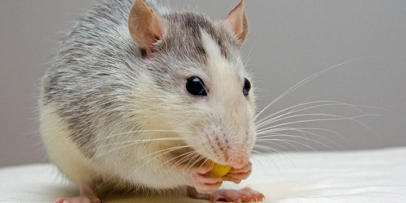 Can Rats Eat Almonds?