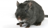 Can Rats Eat Chocolate?
