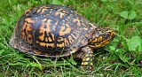 Can Turtles Eat Lettuce?