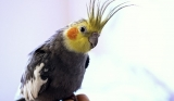 What Do Cockatiels Eat?